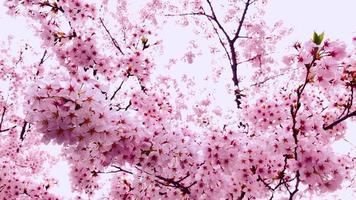 lindas flores de cerejeira video