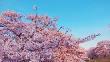 flores de cerejeira no parque video