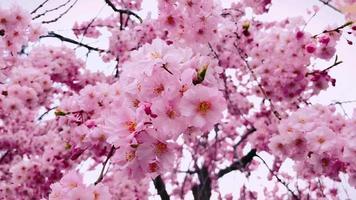 flores de sakura de perto video