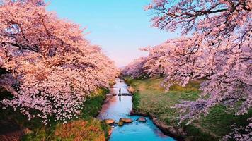 vista panorâmica do parque das flores de cerejeira video