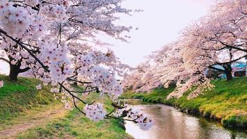 weiße Kirschblütenbäume
