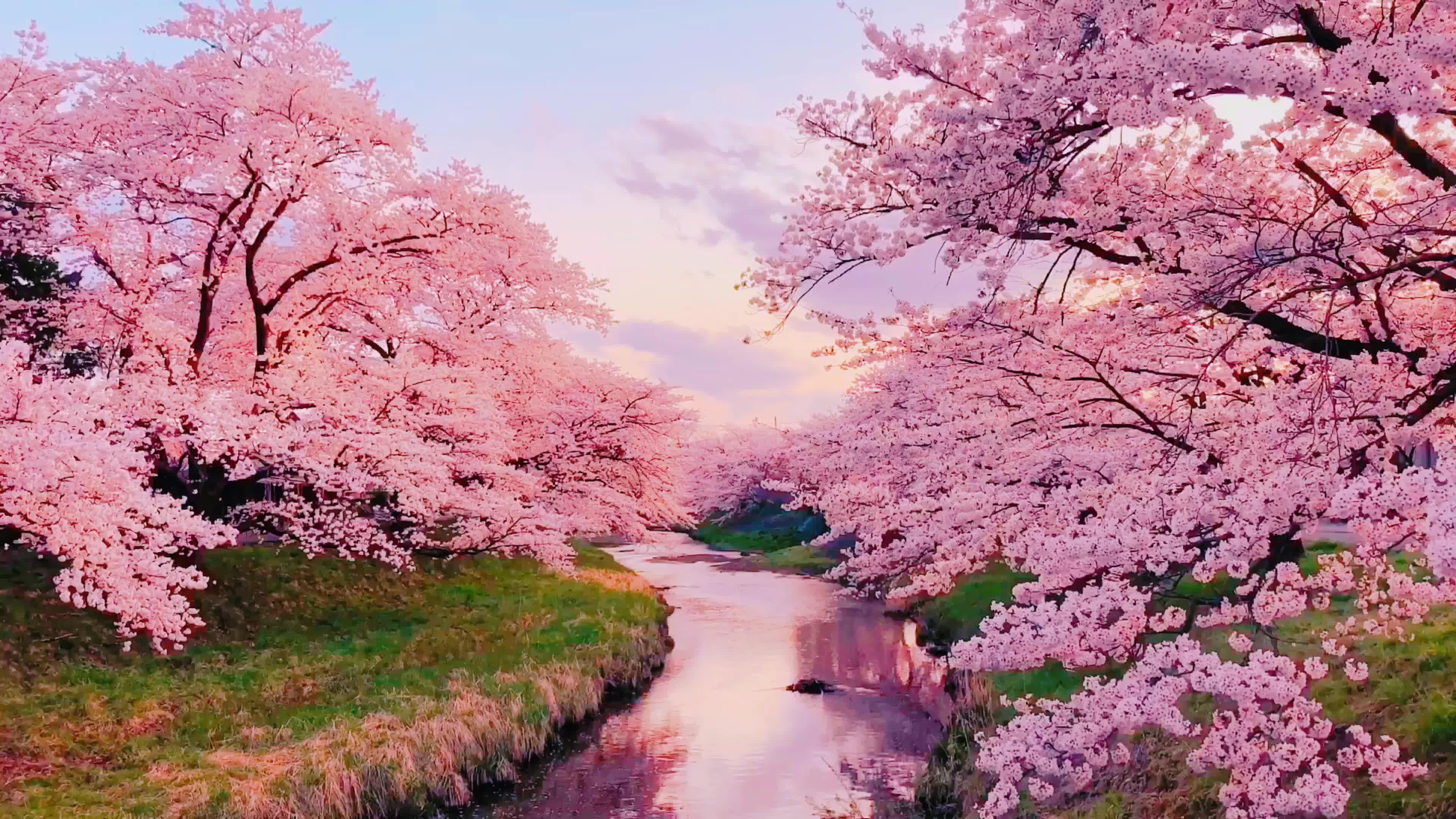 Dreamy Cherry Blossom Trees 1626045 Free Hd Video Clips Stock Video Footage