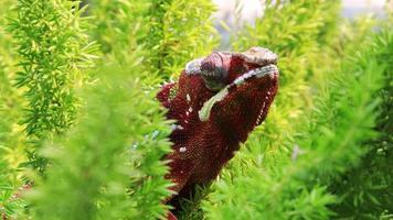 camaleão pantera colorida em um galho