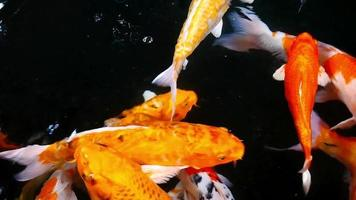 Koi Carps Fish Swimming in Beautiful Color Variations