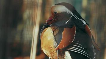 pato mandarín extendiendo alas