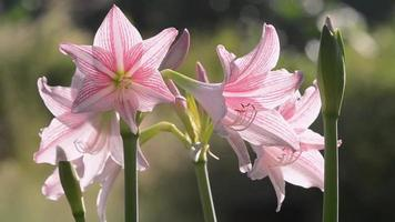 Amaryllis Flower Shaking as the Wind blows