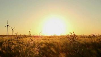 campo de trigo en el sol vespertino