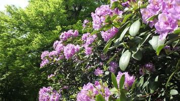 Flowering Bush In A Park video