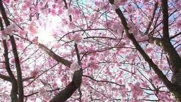árbol de sakura en flor en primavera