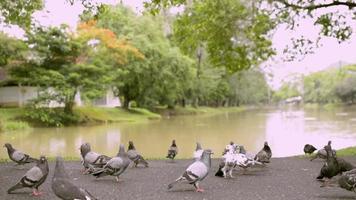 pombos em um parque público perto de um lago natural video