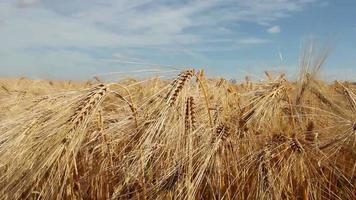 campo de cultivos de trigo