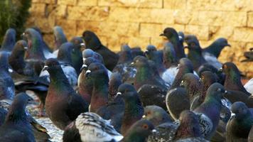 bandada de palomas caminando video