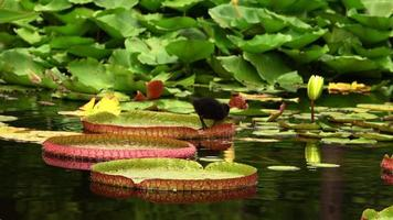 Lotus Flowers and Leaves on Lake Water and Little Baby Bird