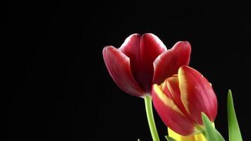 schöne Blumenpflanzentulpen