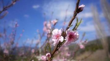 árvore de flor de pêssego