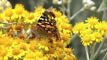 borboleta em flores amarelas