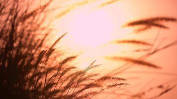 Silhouette des Grases, das sich mit der Brise bewegt
