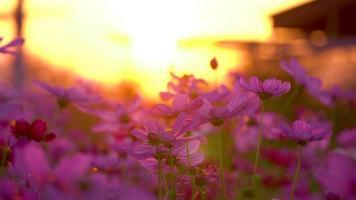 close-up de flores roxas do cosmos video