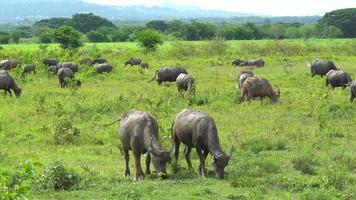 eine Herde grasender Büffel