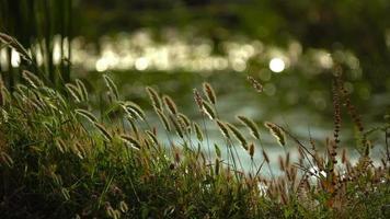 juncos e o lago na natureza video