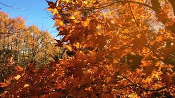folhas de outono no fundo do céu no japão. video