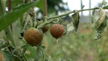 tomates podres pendurados em um galho video