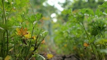 perejil verde en el jardín meciéndose en el viento video