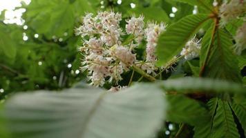 fiori di castagno durante la stagione primaverile video