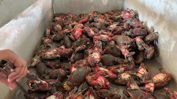 elenco fresco de caranguejos amarrados em um tanque video