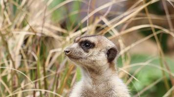 Close up meerkat in erba alta