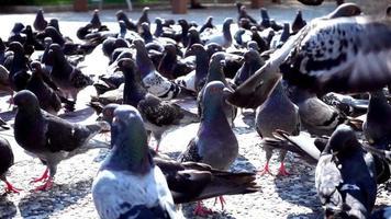 Bandada de palomas de pie y caminando sobre suelo de cemento video