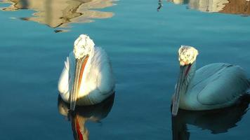 Pelicans in a Calm Sea