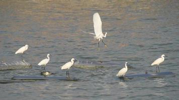 White egrets standing on buoys