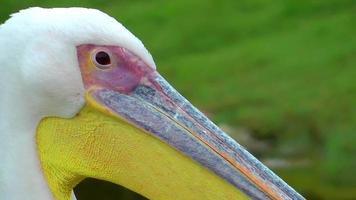 animal pássaro pelicano video