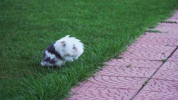 A fluffy bunny is running on grass in slow motion video