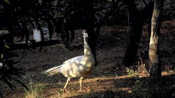 un pavo real blanco está caminando bajo la cálida luz del sol en cámara lenta