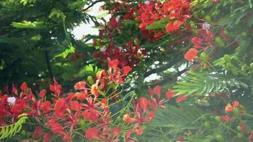 Royal Poinciana tree is flowering and waving with the wind.