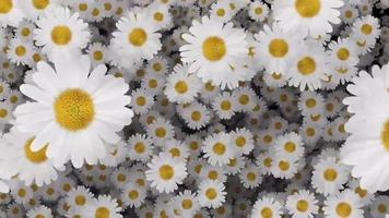 Going through an ocean of beautiful white daisies