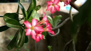 Adenium obesum rosa flores meciéndose en el jardín video