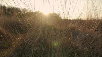 Sun glaring through high grass during sunset