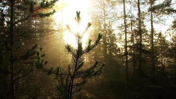 Acercamiento del pino