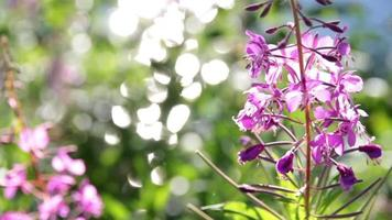 fireweed y bokeh brillante video