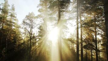 Sunlight In Pine Tree Forest