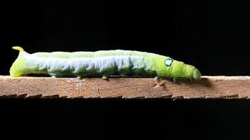 lagarta andando em pau de madeira para a esquerda