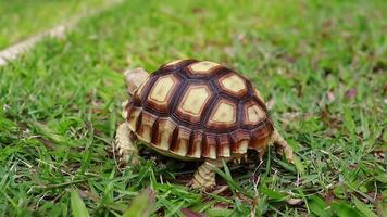 tartaruga caminhando no gramado video