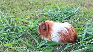 conejillo de indias asustado en la hierba
