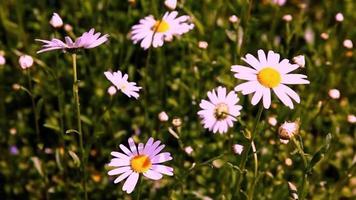 wilde und zierliche Ochsenauge-Gänseblümchen, die sich im Frühlingswind wiegen