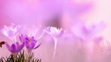fleurs de crocus et abeille