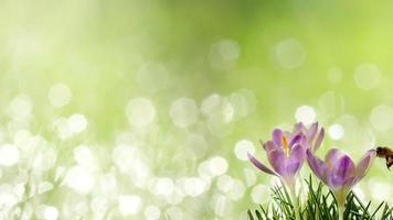 abeille sur les fleurs printanières