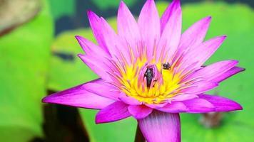 insectos en una flor de loto rosa claro
